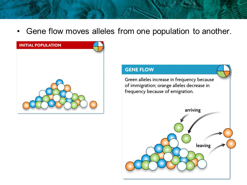 Gene flow moves alleles from one population to another.