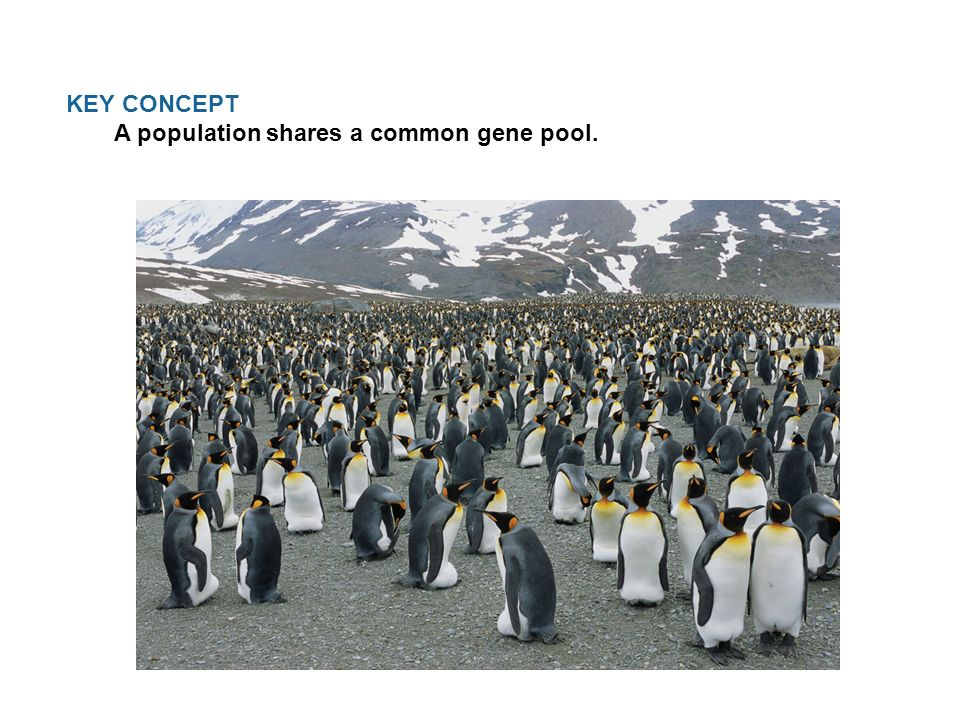 KEY CONCEPT A population shares a common gene pool.