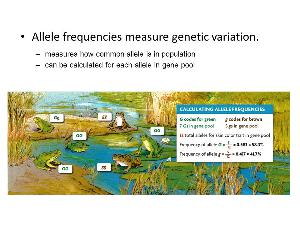 Allele frequencies measure genetic variation.