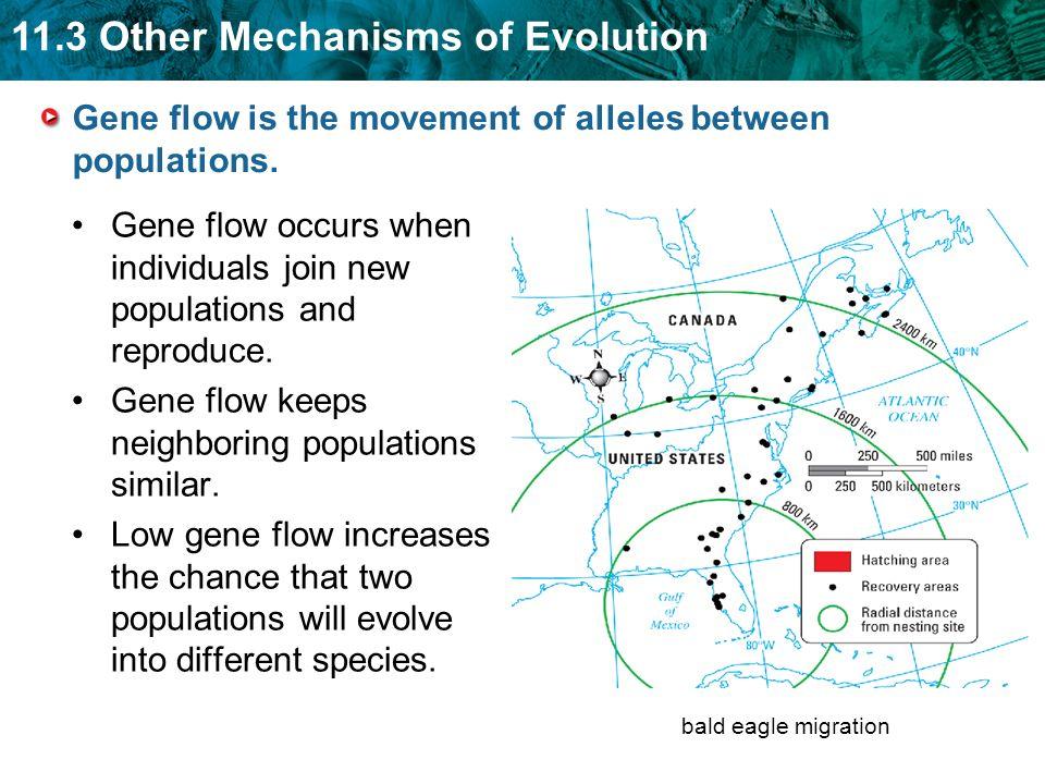 Gene flow is the movement of alleles between populations.