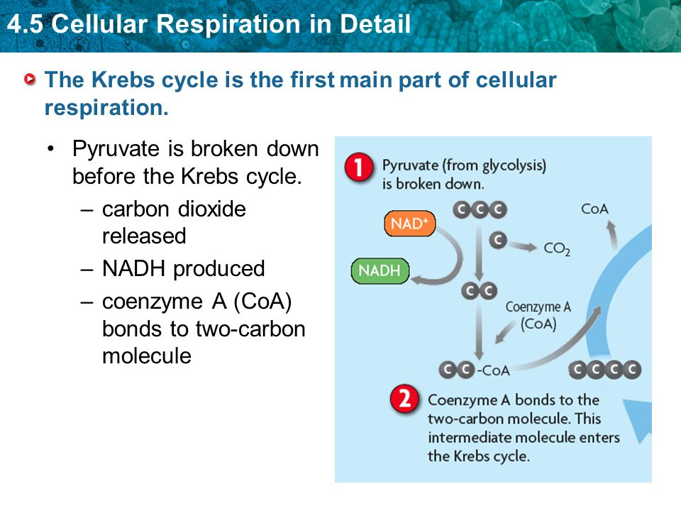 The Krebs cycle is the first main part of cellular respiration.