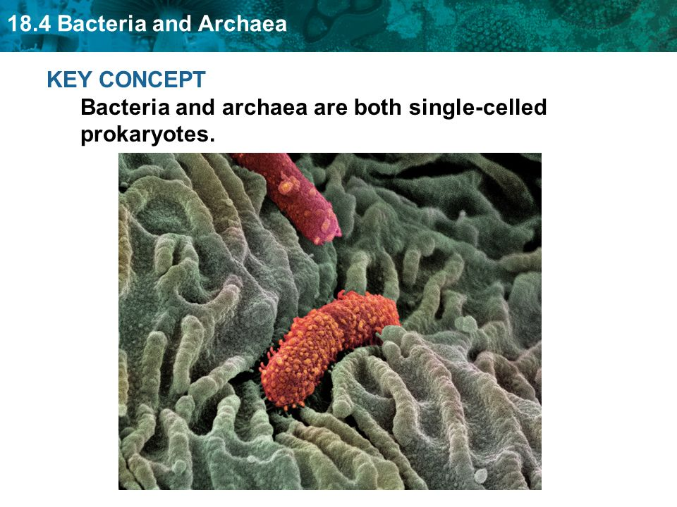 KEY CONCEPT Bacteria and archaea are both single-celled prokaryotes.