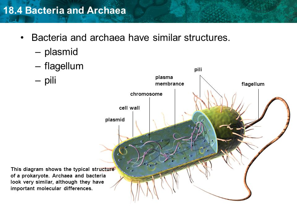 Bacteria and archaea have similar structures. plasmid flagellum pili