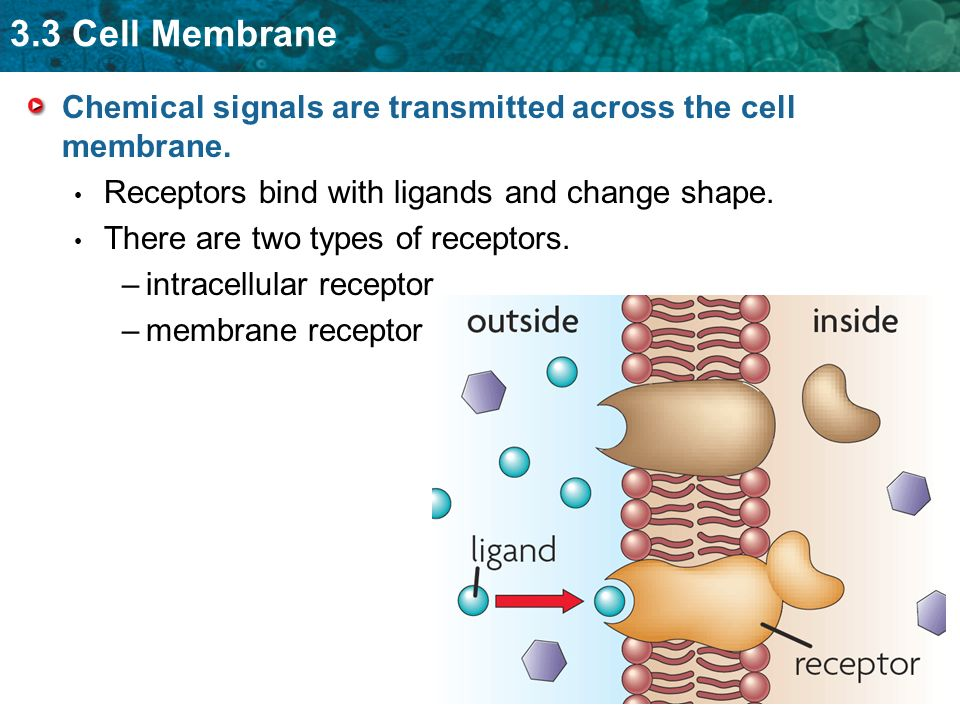 Chemical signals are transmitted across the cell membrane.