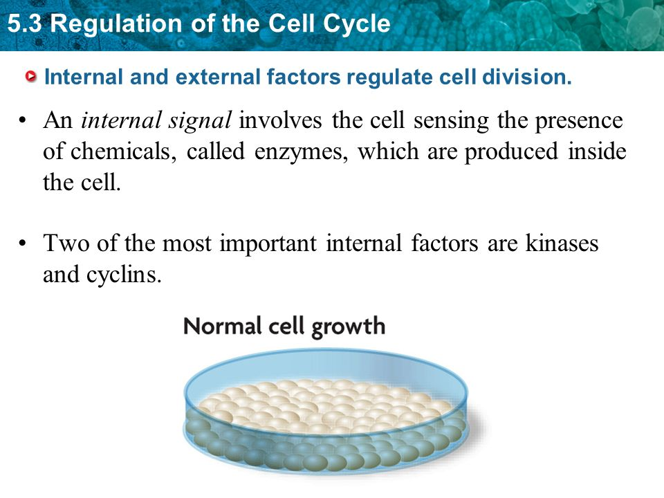 Internal and external factors regulate cell division.