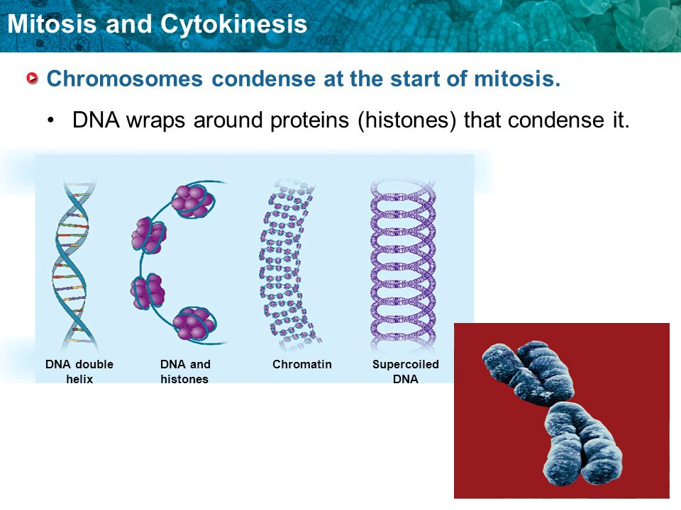 Chromosomes condense at the start of mitosis.