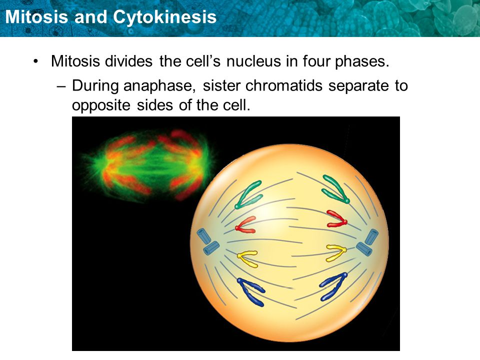 Mitosis divides the cell's nucleus in four phases.
