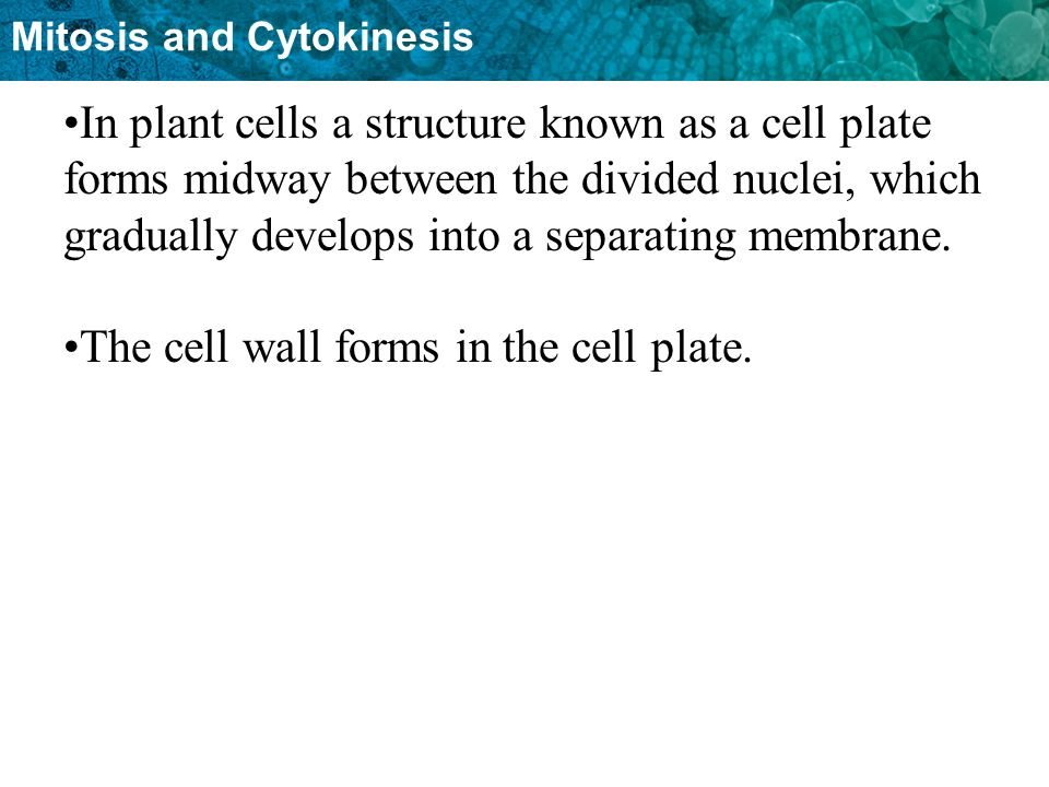 In plant cells a structure known as a cell plate forms midway between the divided nuclei, which gradually develops into a separating membrane.
