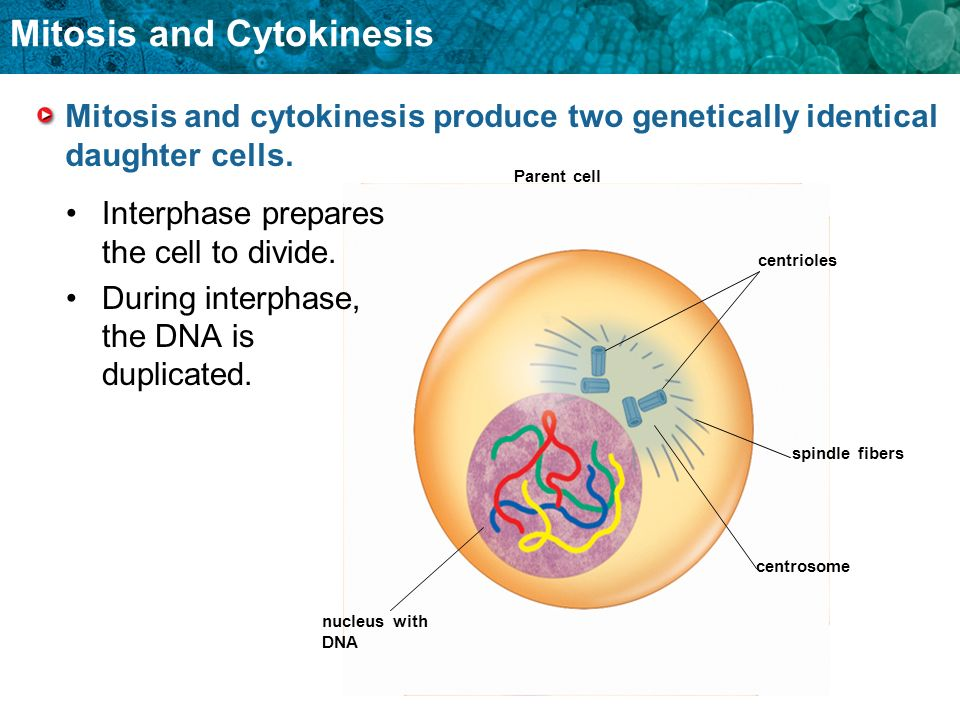 what happens during interphase mitosis and cytokinesis relationship