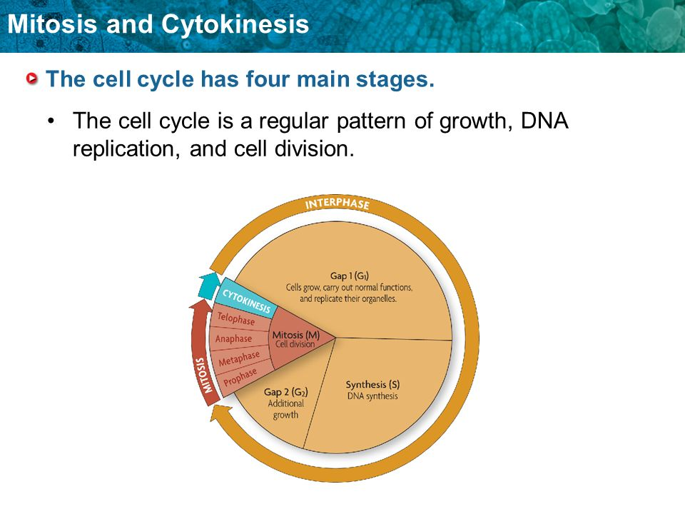 The cell cycle has four main stages.
