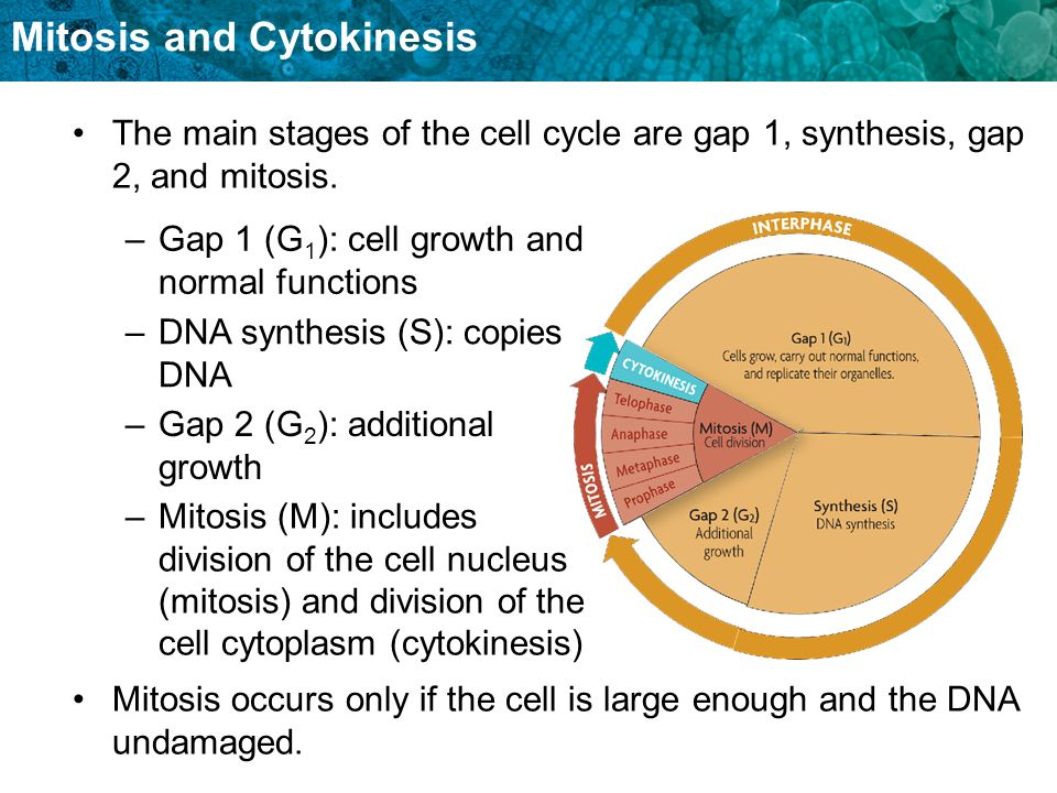 The main stages of the cell cycle are gap 1, synthesis, gap 2, and mitosis.