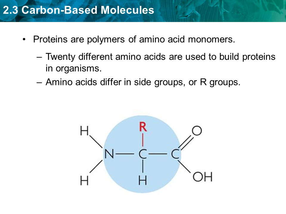 Proteins are polymers of amino acid monomers.