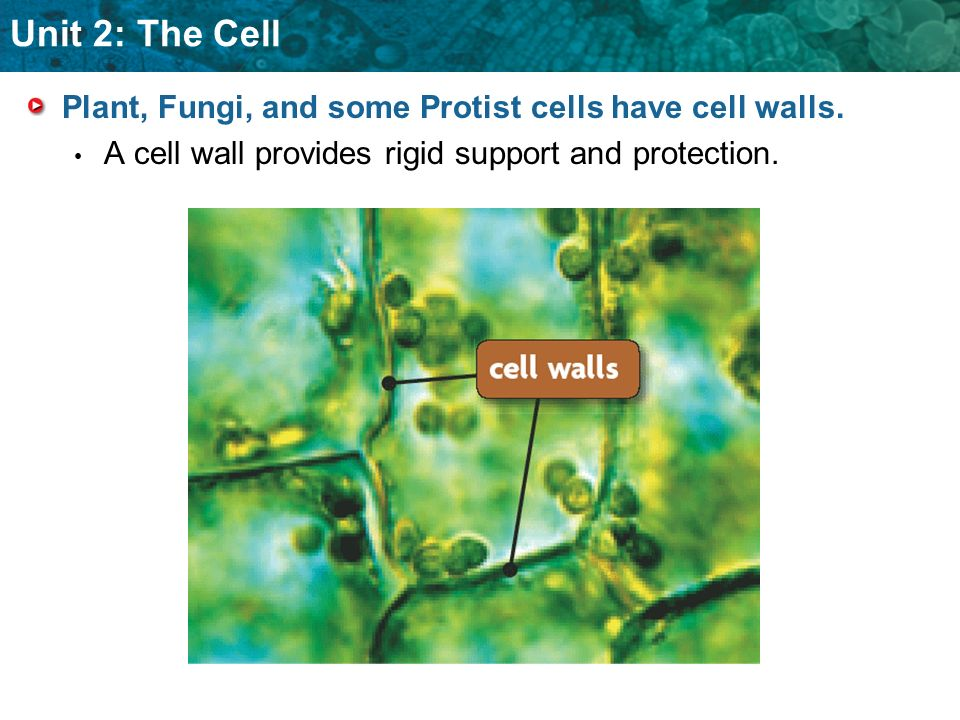 Plant, Fungi, and some Protist cells have cell walls.