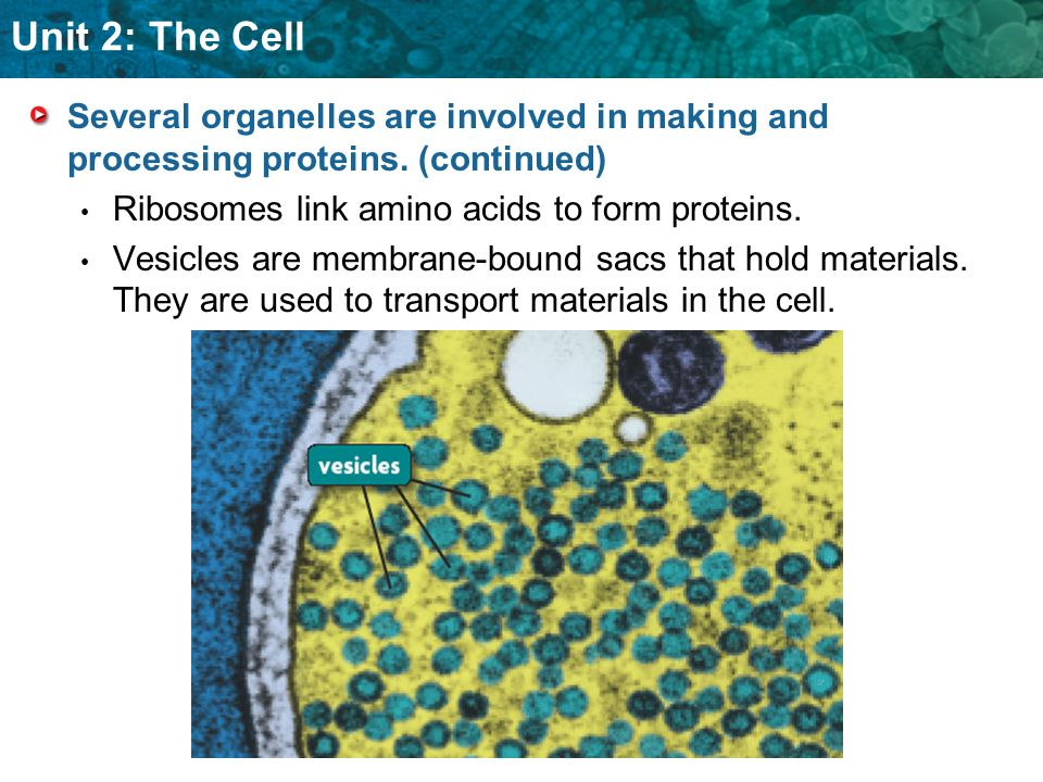 Several organelles are involved in making and processing proteins