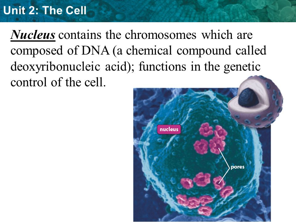 Nucleus contains the chromosomes which are composed of DNA (a chemical compound called deoxyribonucleic acid); functions in the genetic control of the cell.