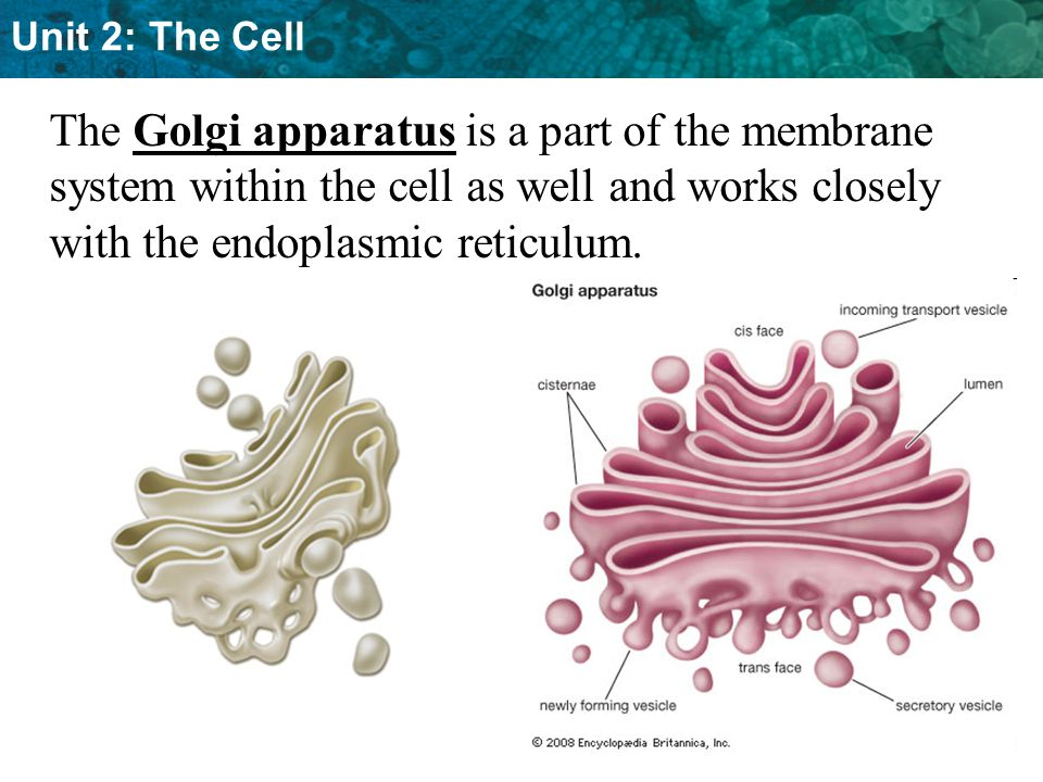 The Golgi apparatus is a part of the membrane system within the cell as well and works closely with the endoplasmic reticulum.