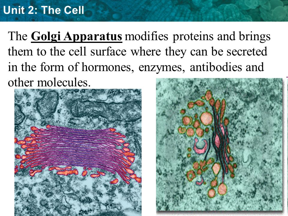 The Golgi Apparatus modifies proteins and brings them to the cell surface where they can be secreted in the form of hormones, enzymes, antibodies and other molecules.
