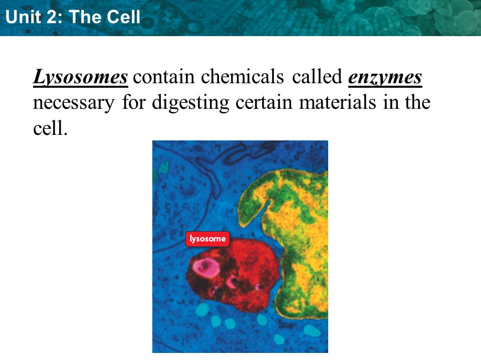 Lysosomes contain chemicals called enzymes necessary for digesting certain materials in the cell.