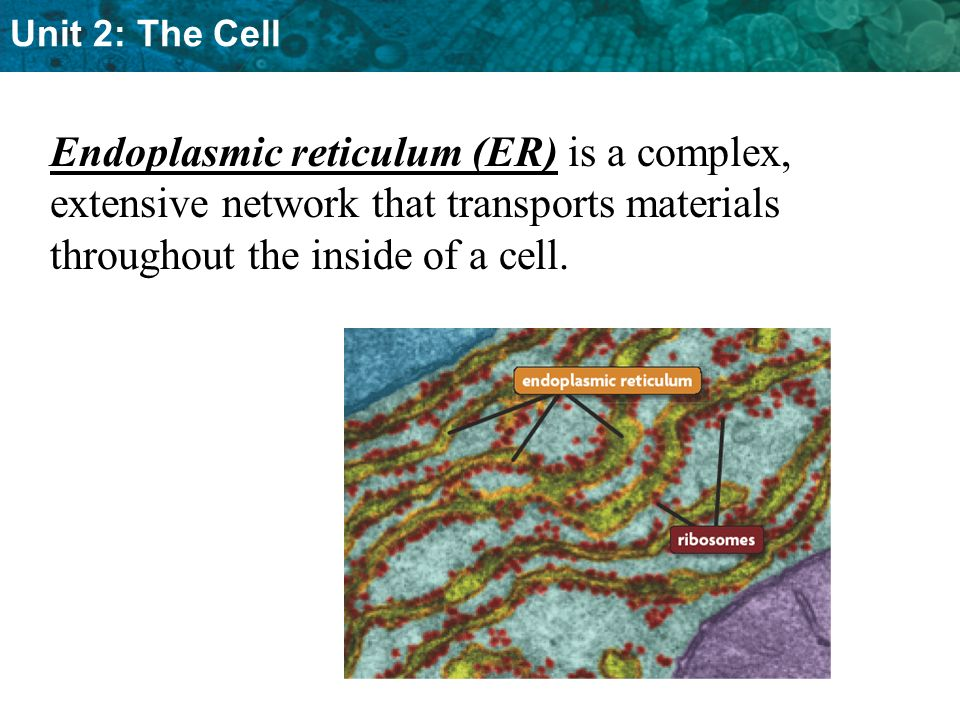Endoplasmic reticulum (ER) is a complex, extensive network that transports materials throughout the inside of a cell.