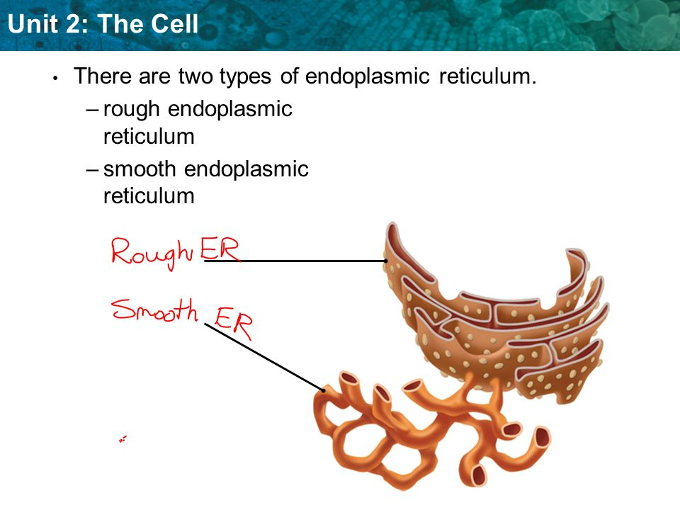 There are two types of endoplasmic reticulum.