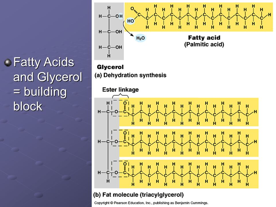 Fatty Acids and Glycerol = building block