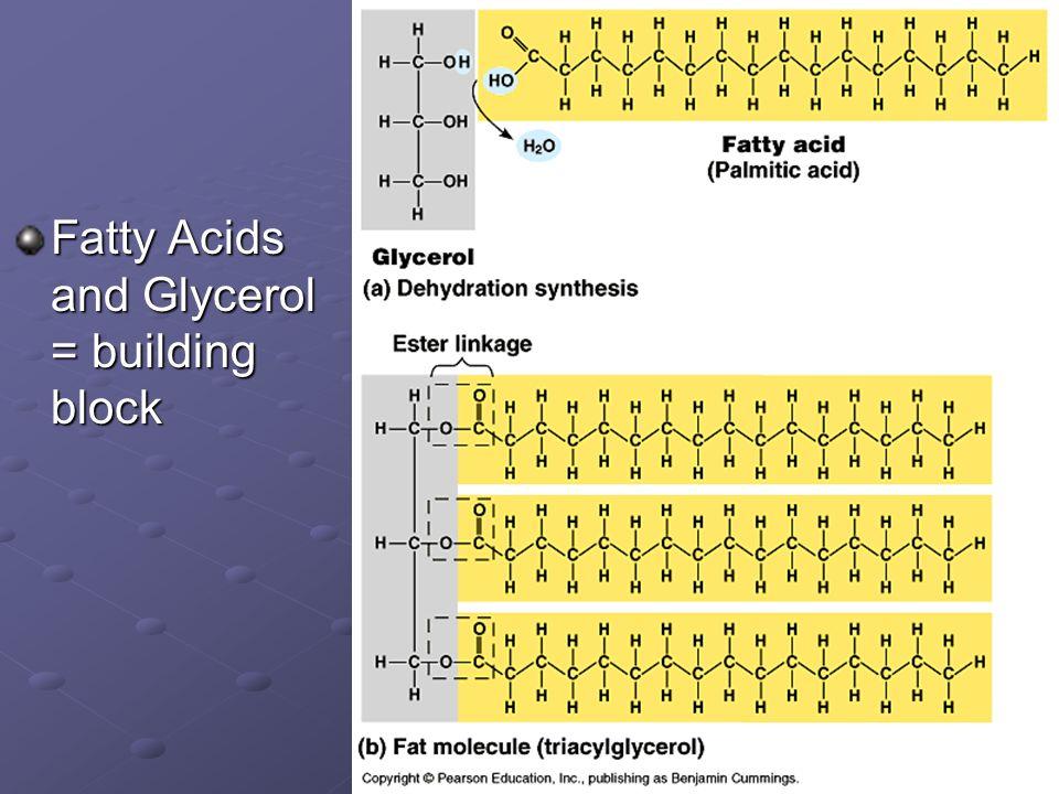 Fatty Acids and Glycerol = building block