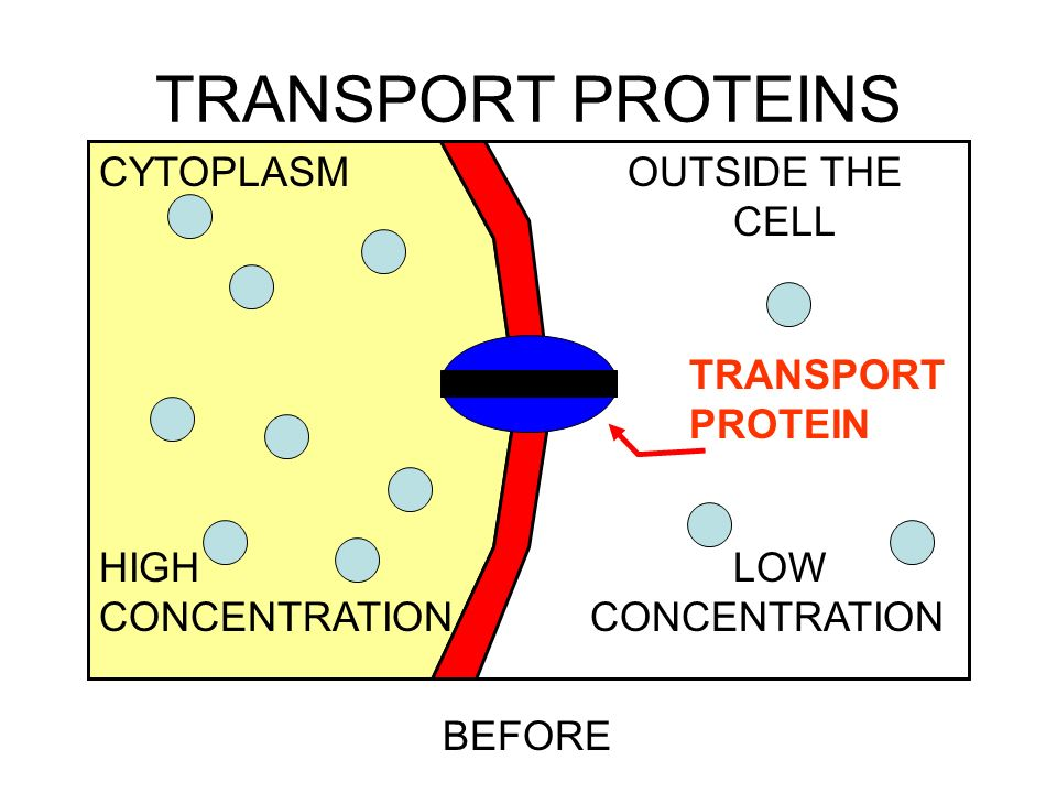 TRANSPORT PROTEINS CYTOPLASM OUTSIDE THE CELL HIGH LOW TRANSPORT
