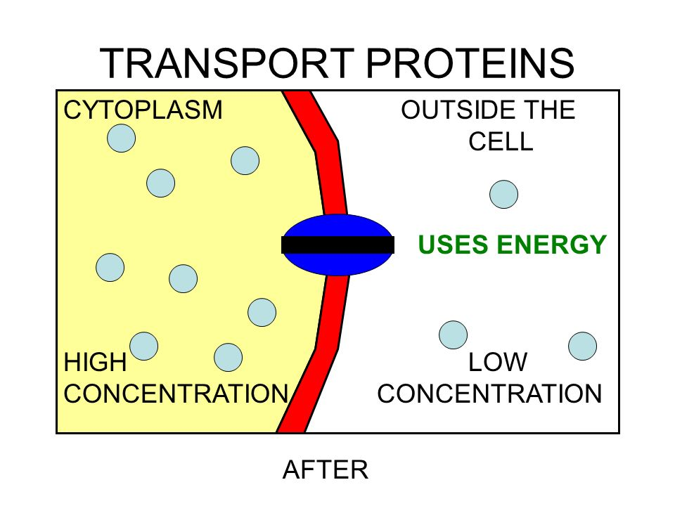 TRANSPORT PROTEINS CYTOPLASM OUTSIDE THE CELL HIGH LOW USES ENERGY