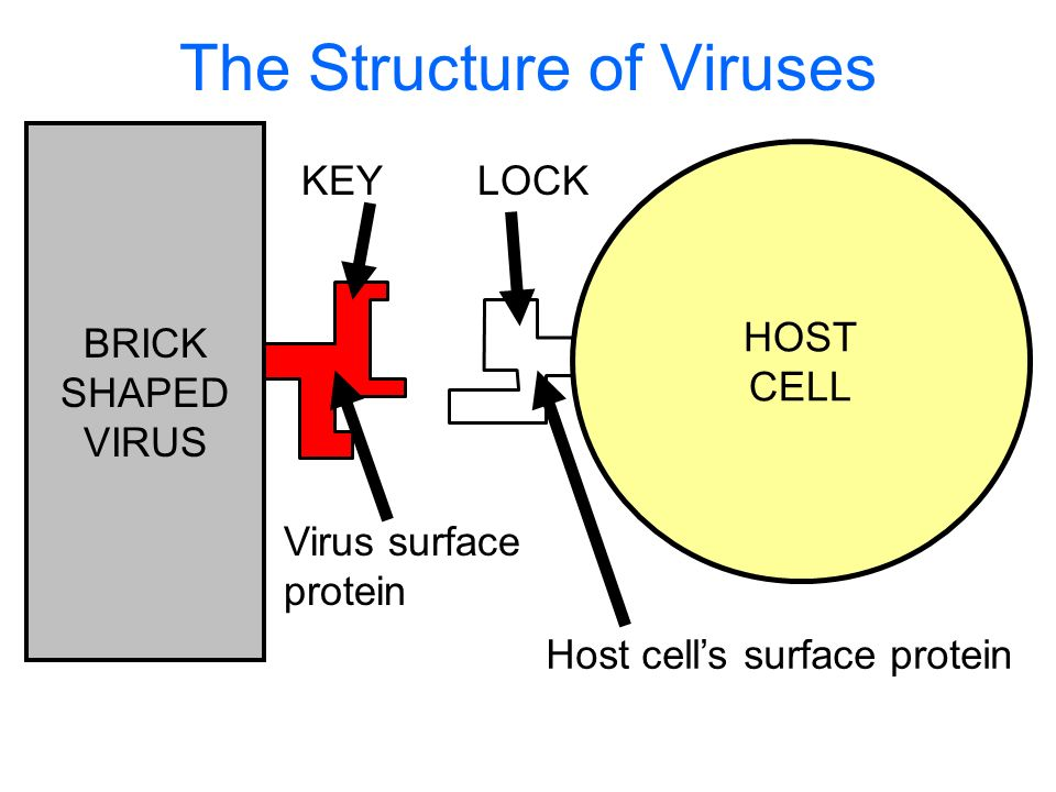 The Structure of Viruses