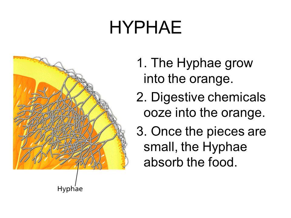 HYPHAE The Hyphae grow into the orange.