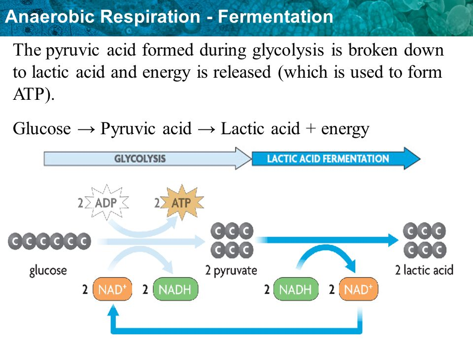 The pyruvic acid formed during glycolysis is broken down to lactic acid and energy is released (which is used to form ATP).