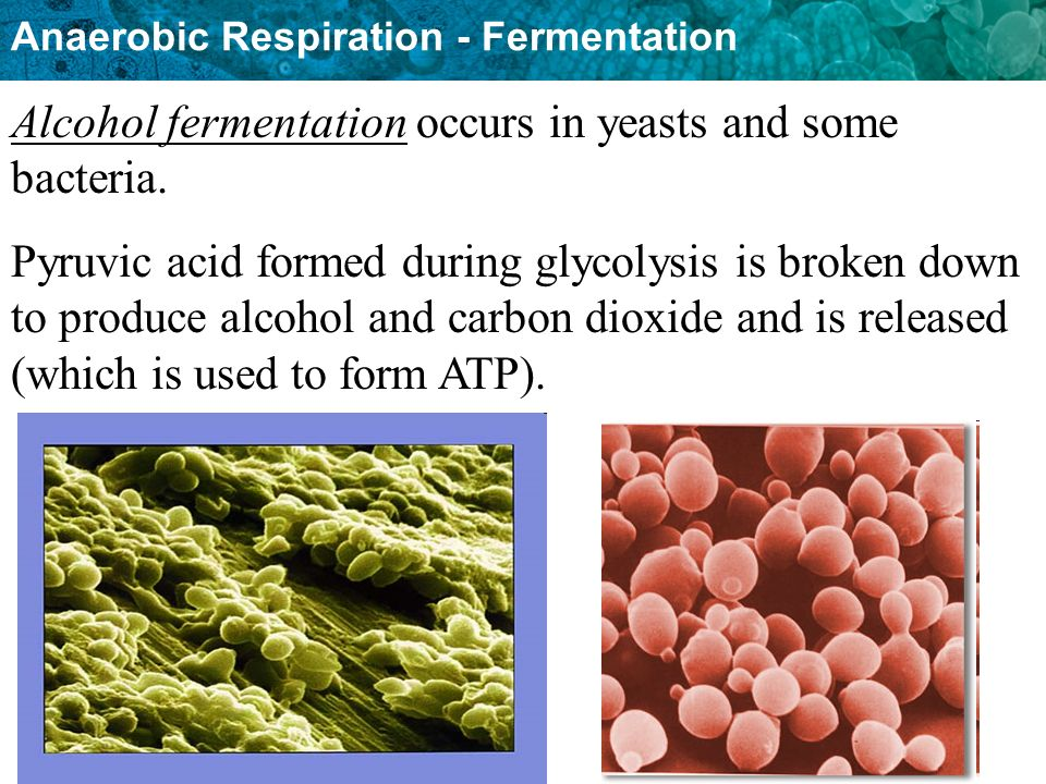 Alcohol fermentation occurs in yeasts and some bacteria.