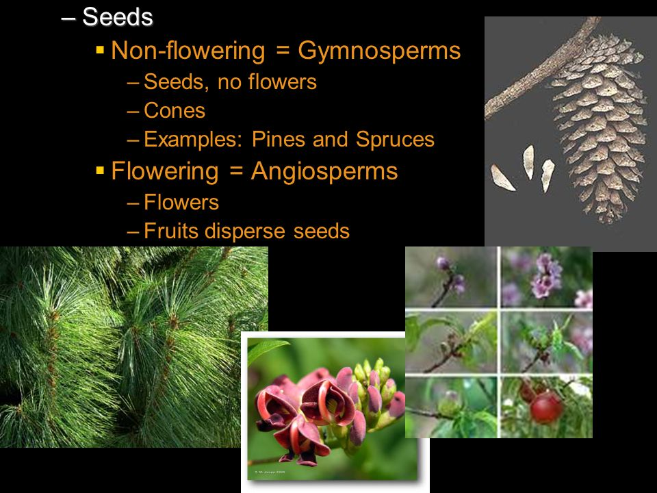 Non-flowering = Gymnosperms
