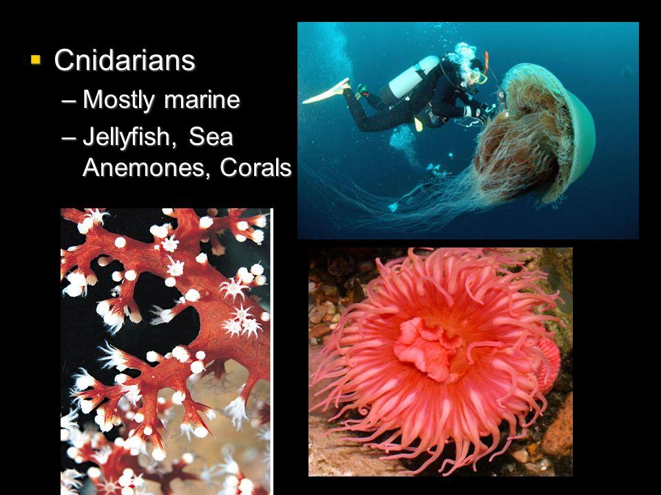 Cnidarians Mostly marine Jellyfish, Sea Anemones, Corals