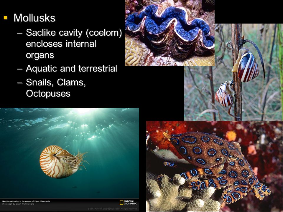Mollusks Saclike cavity (coelom) encloses internal organs