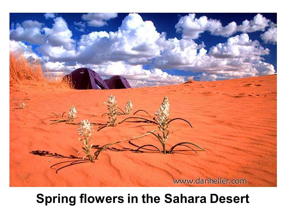 Spring flowers in the Sahara Desert