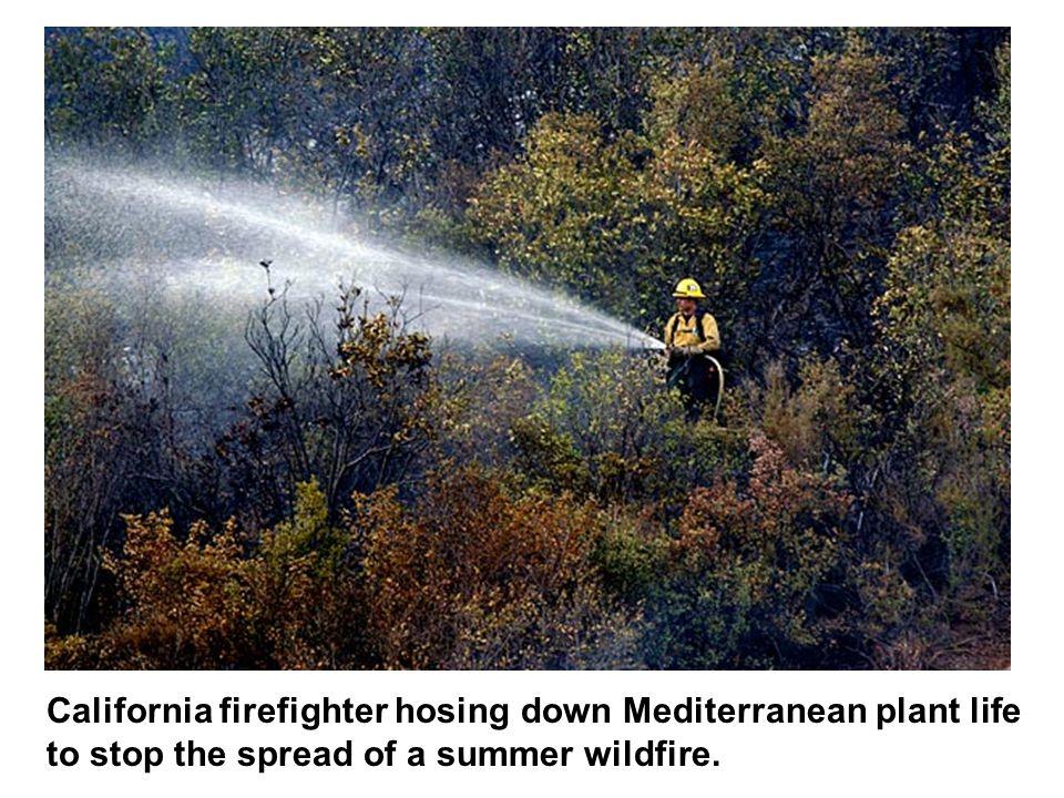 California firefighter hosing down Mediterranean plant life
