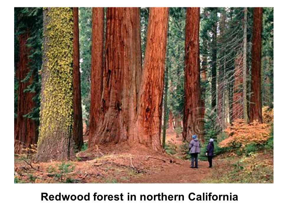 Redwood forest in northern California