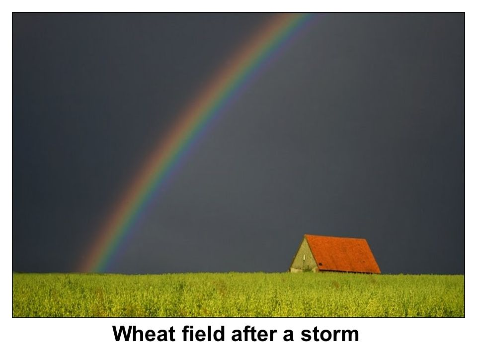 Wheat field after a storm