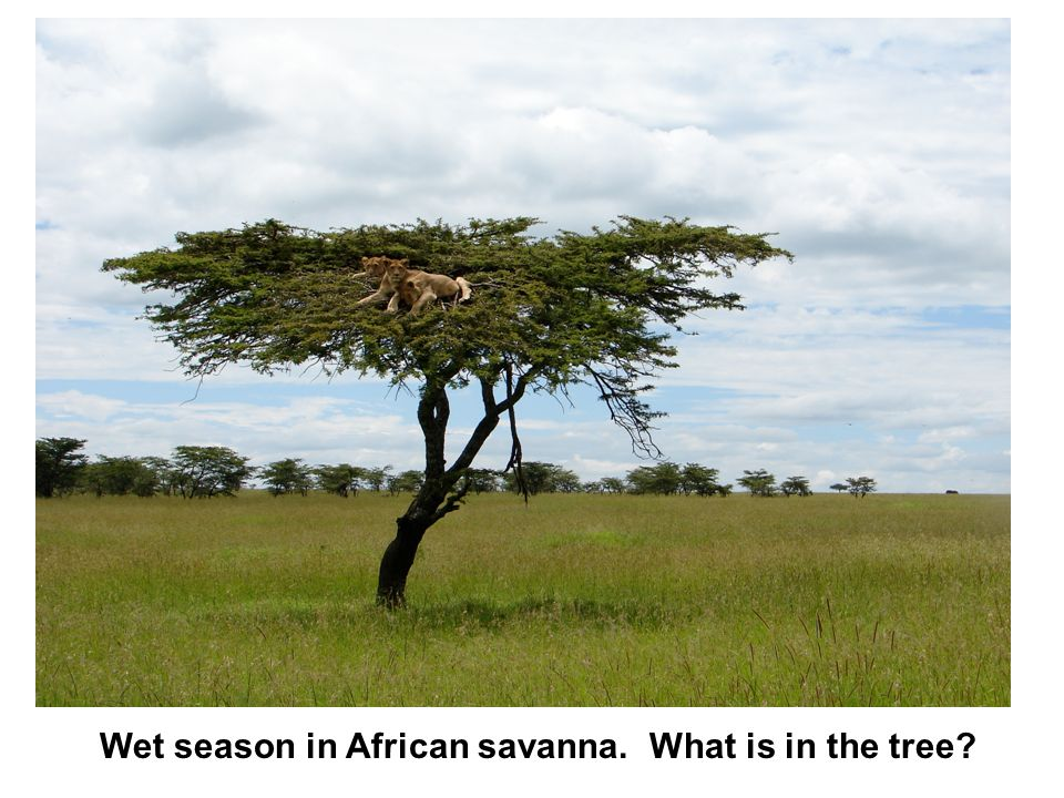 Wet season in African savanna. What is in the tree