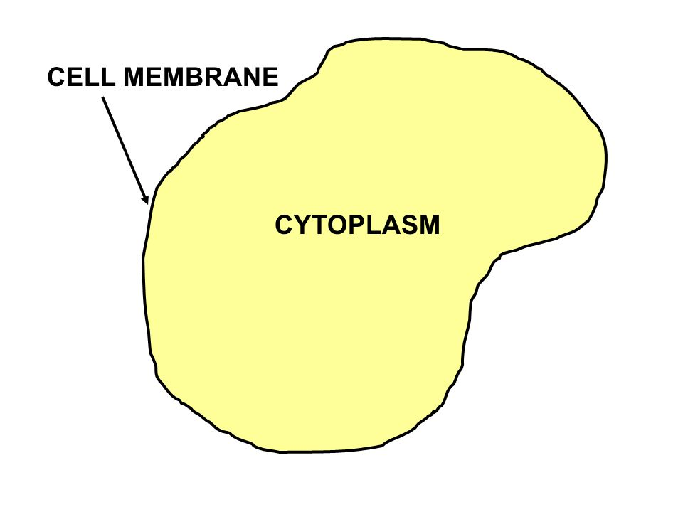CELL MEMBRANE CYTOPLASM