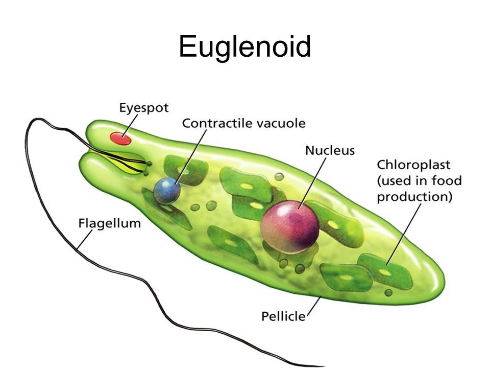 Euglenoid