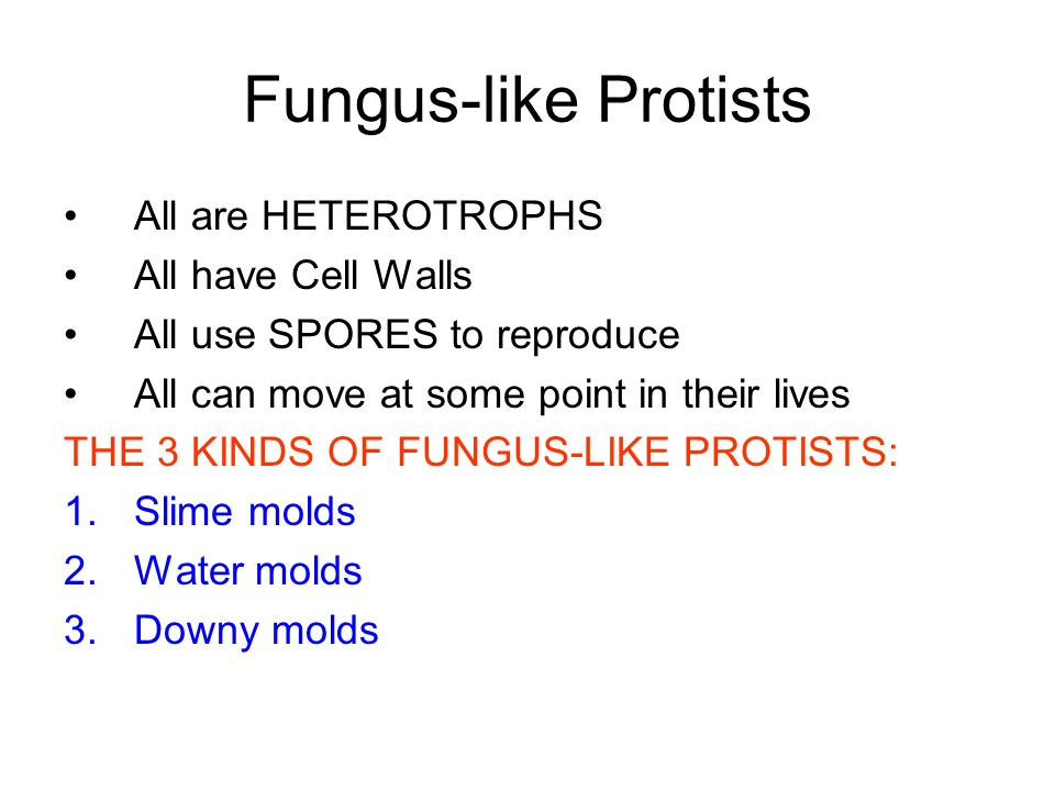 Fungus-like Protists All are HETEROTROPHS All have Cell Walls