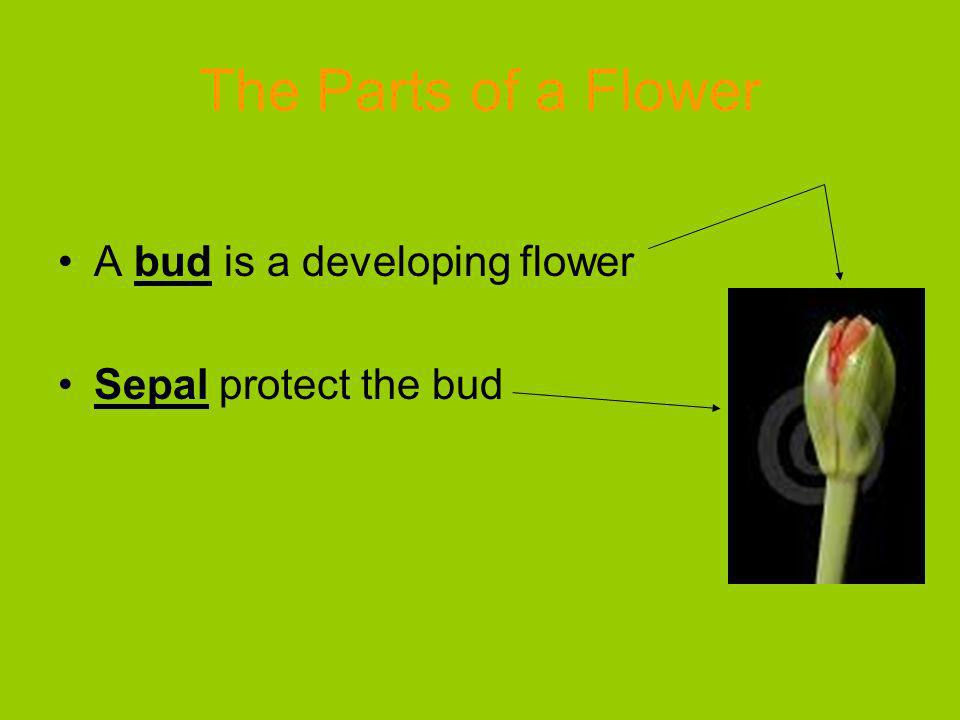 The Parts of a Flower A bud is a developing flower