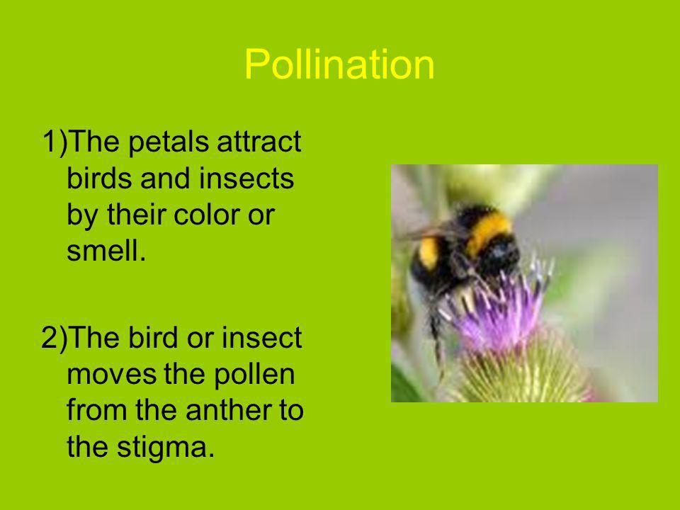 Pollination 1)The petals attract birds and insects by their color or smell.