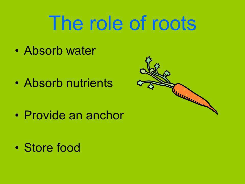 The role of roots Absorb water Absorb nutrients Provide an anchor