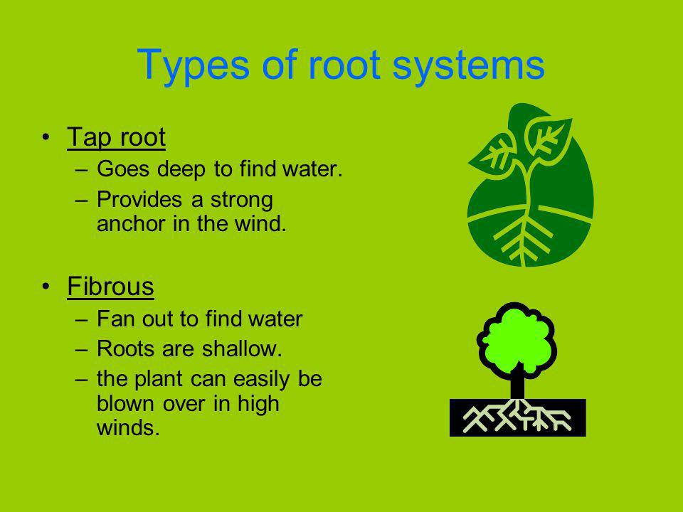 Types of root systems Tap root Fibrous Goes deep to find water.
