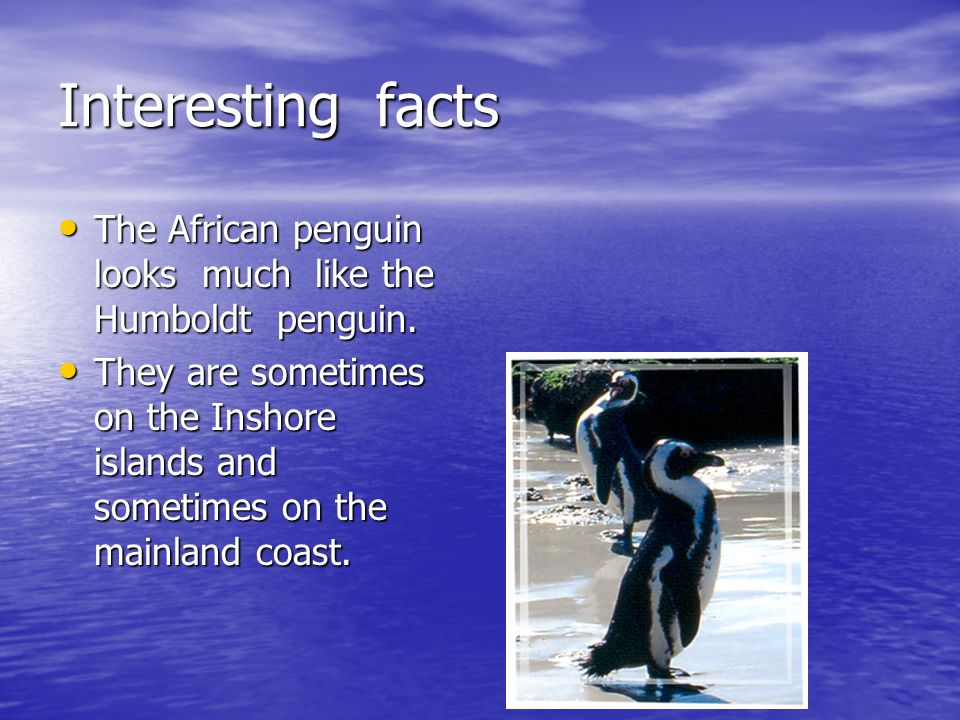 Interesting facts The African penguin looks much like the Humboldt penguin.