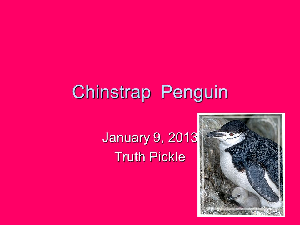 Chinstrap Penguin January 9, 2013 Truth Pickle