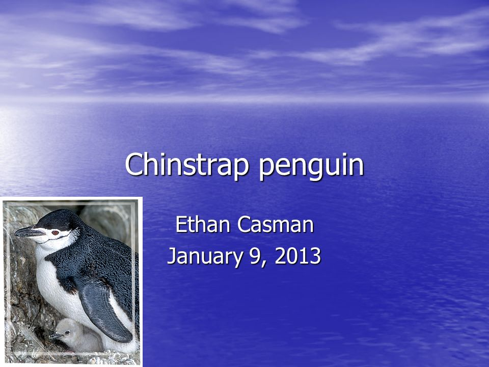 Chinstrap penguin Ethan Casman January 9, 2013
